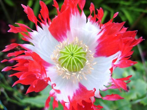 Poppy 'Danish Flag' (Papaver Somniferum) Flower Plant Heirloom, 1750 Seeds
