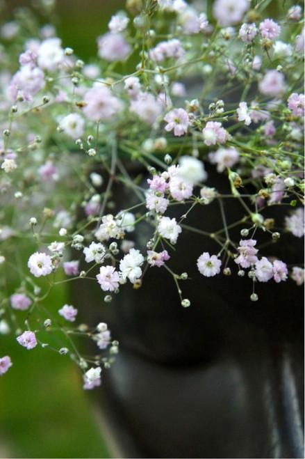 Gypsophila 'Double White Perennial' (Gypsophila Paniculata L.) Flower Plant Heirloom, 480 Seeds