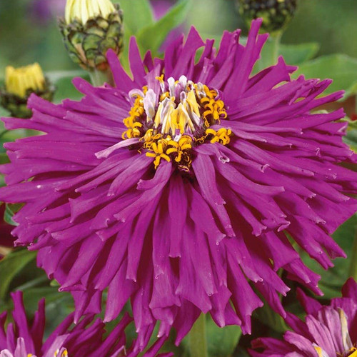 Zinnia 'Lilac Empress' (Zinnia Elegans Dahlienflora) Flower Plant Heirloom, 45-55 Seeds