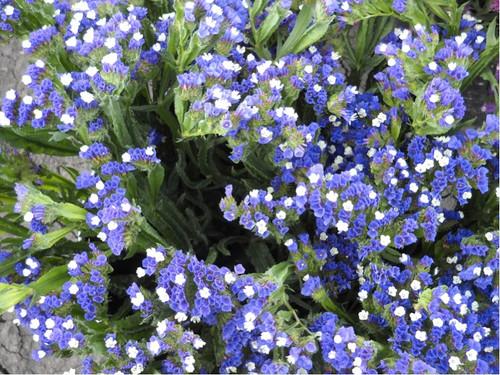Statice 'Blue' (Limonium Sinuatum L.) Flower Plant Heirloom, 132-140 Seeds