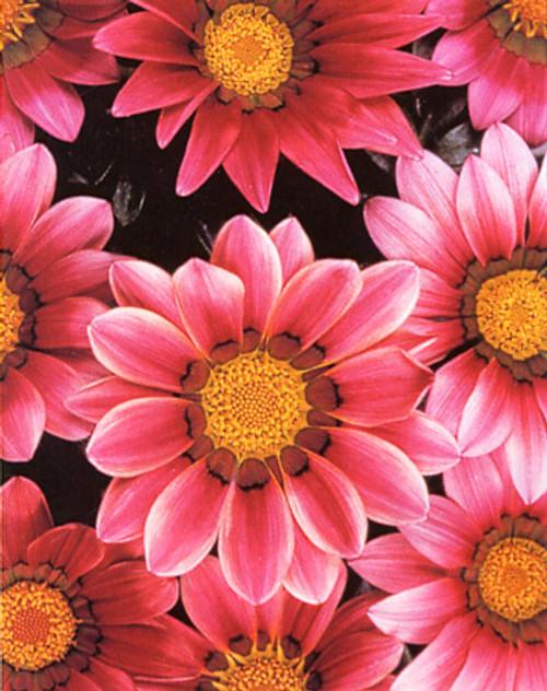 Gazania New Day 'Pink Shades' (Gazania Rigens) Flower Plant Heirloom, 15 Seeds