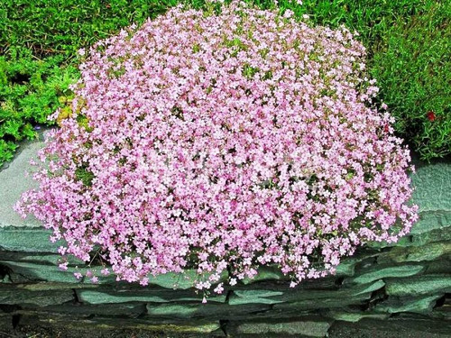 Gypsophila 'Elegant Rose' (Gypsophila Paniculata) Flower Plant Heirloom, 0.5g (0.02oz)Seeds