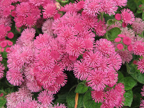 Floss Flower 'Pink Ball' (Ageratum Mexicanum) Flower Plant Heirloom, 750 Seeds