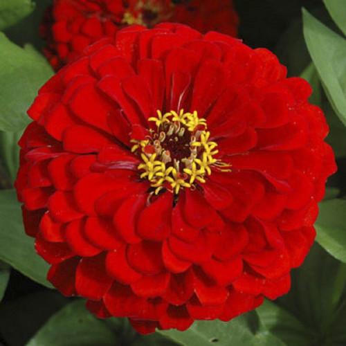 Zinnia 'Scarlet Flame' (Zinnia Elegans) Flower Plant Heirloom, 90 Seeds