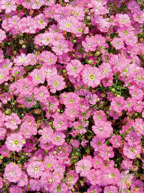 Gypsophila Elegans 'Rose' (Gypsophila Elegans M.Bieb.) Flower Plant Heirloom, Seeds