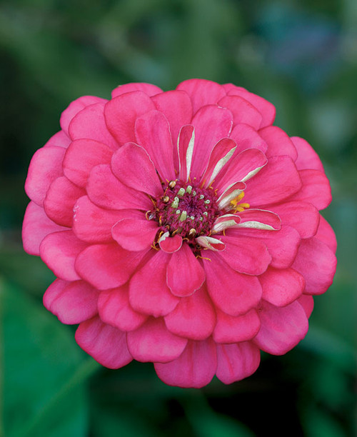 Zinnia 'Luminosa' (Zinnia Elegans) Flower Plant Heirloom, 90-110 Seeds