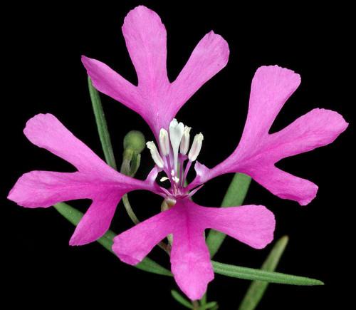 Pinkfairy 'Arianne' (Clarkia Pulchela Pursh) Flower Plant Heirloom, 1500 Seeds