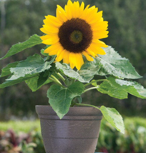 Sunflower 'Bambino' (Helianthus Annuus L.) Flower Plant Heirloom, 30-40 Seeds