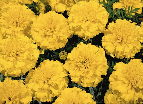 French Marigold 'Lemon Drop' (Tagetes Patula L.) Flower Plant Heirloom, 300-320 Seeds
