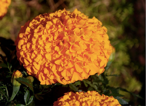 Marigold African 'Calando Orange' (Tagetes Erecta L.) Flower Plant Heirloom, 145-150 Seeds
