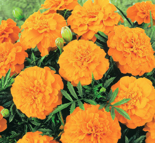 Marigold French 'Valencia' (Tagetes Patula L.) Flower Plant Heirloom,300-320 Seeds