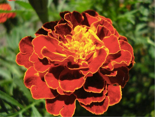 Marigold French 'Red Brocate' (Tagetes Patula L.) Flower Plant Heirloom, 300-320 Seeds