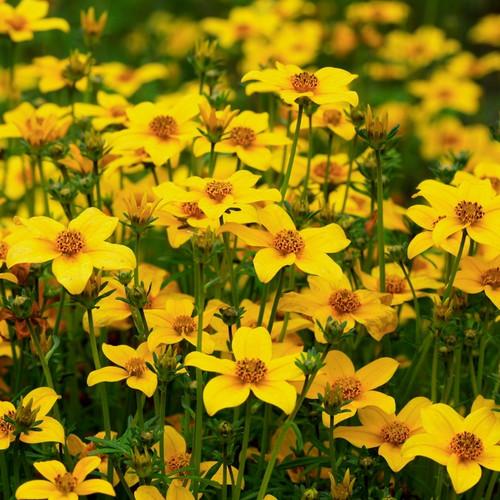 Marigold-Bur (Bidens Aurea L.) Flower Plant Heirloom, 375-380 Seeds