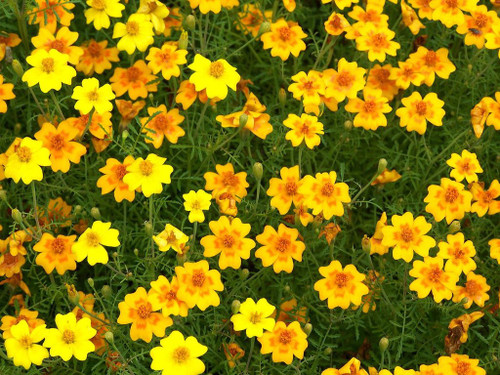 Marigold Scotch 'Golden Gem' (Tagetes Tenuifolia Cav.) Flower Plant Heirloom, 550-600 Seeds
