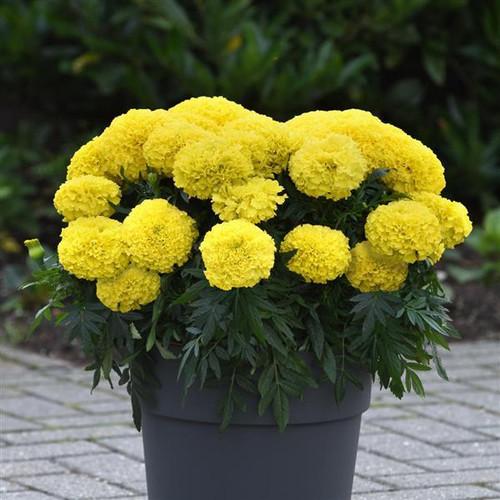 Marigold African 'Calando Lemon' (Tagetes Erecta L.) Flower Plant Heirloom, 145-150 Seeds