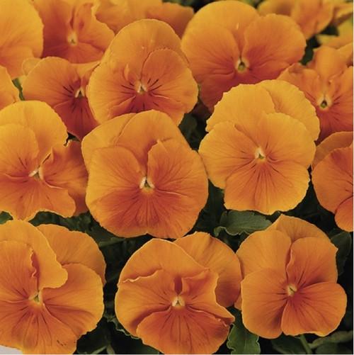 Pansy 'Orange Sun' (Viola X Wittrockiana) Flower Plant Hybrid,240 Seeds