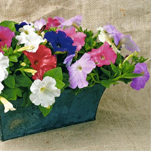Petunia Hybrid 'Balcony' (Petunia Nana Compacta) Flower Plant Hybrid,800 Seeds