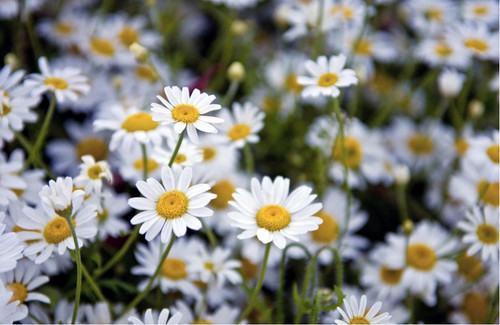 Chamomile 'Zloty Lan' (Matricaria Chamomilla) Herbal Plant Heirloom, 14,000-16,000 Seeds