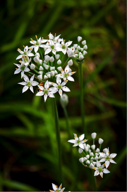 Garlic Chives (Allium Tuberosum L.) Herbal Plant Heirloom, 95-125 Seeds