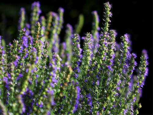 Hyssop (Hyssopus Officinalis L.) Herbal Plant Heirloom,900-1000 Seeds