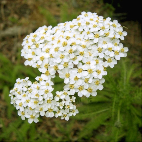 Yarrow (Achillea Millefolium L.) Herbal Plant Heirloom, 180 Seeds