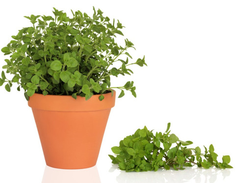 Oregano (Origanum Vulgare L.) Herbal Plant Heirloom, 2800-3000 Seeds