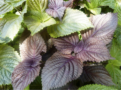 Perilla Japanese Shiso (Perilla Frutescens L.) Herbal Plant Heirloom, 240-270 Seeds
