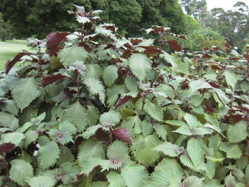 Perilla Japanese Shiso 'Hojiso' (Perilla Frutescens L.) Herbal Plant Heirloom, 30 Seeds