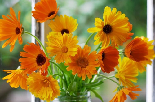 Pot Marigold (Calendula Officinalis L.) Flower Plant Heirloom, 240-300 Seeds