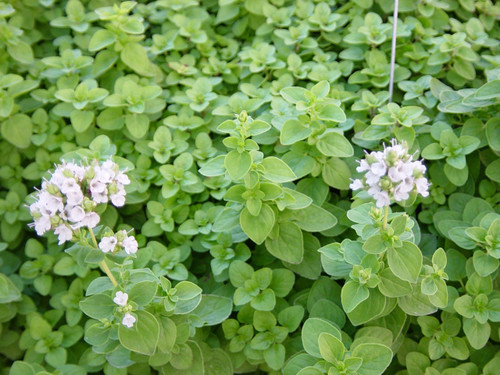 Sweet Marjoram (Majorana Hortenis Moench.) Herbal Plant Heirloom, 4000-4500 Seeds