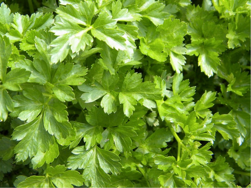 Parsley Leafy 'Gigante D`Italia' (Petroselinum Crispum) Herbal Plant Heirloom, 1000-2000 Seeds