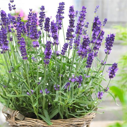 Lavender English (Lavandula Angustifolia Mill.) Flower Plant Heirloom,270 Seeds