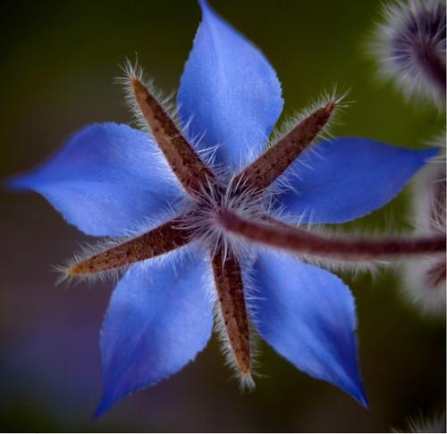 Borage (Borago Officinalis L.) Herbal Plant Heirloom,90 Seeds
