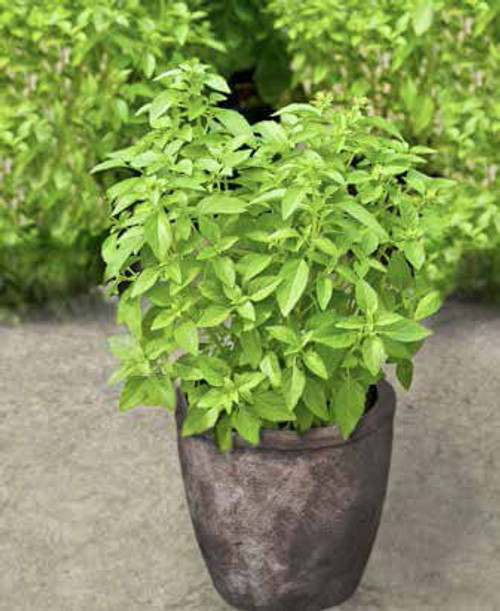 Basil 'Palla Compatto' (Ocimum Basilicum L.) Herbal Plant Heirloom, 650 Seeds