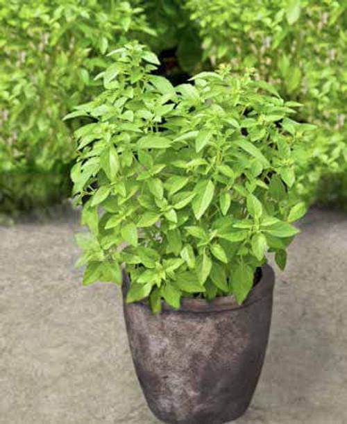 Basil 'Palla Compatto' (Ocimum Basilicum L.) Herbal Plant Heirloom, 650 Seeds