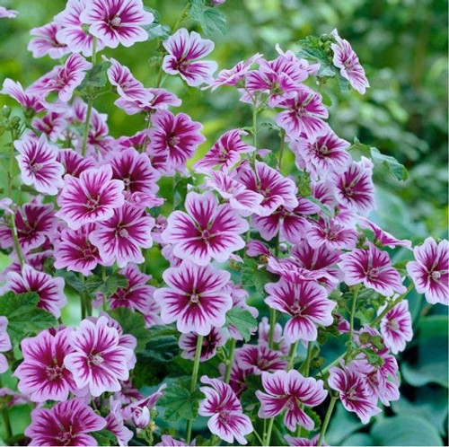 Common Mallow 'Zebrina' (Malva Sylvestris) Flower Plant Heirloom,60-90 Seeds