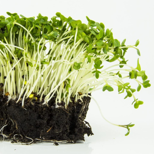 Garden Cress (Leipidium Sativum) Microgreens Heirloom, 5g (0.17oz) Sprouting Seeds