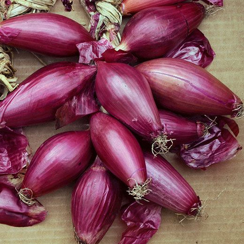 Onion 'Rossa Lunga Di Firenze' (Alemium Cepa) Vegetable Plant Heirloom,200-320 Seeds