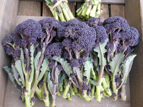 Broccoli Purple Sprouting (Brassica Oleracea Var. Italica) Vegetable Plant Heirloom,2g/0.07oz (~300) Seeds