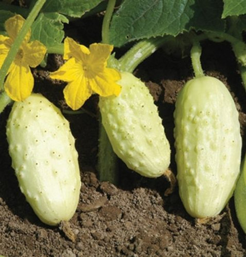 Cucumber 'Miniature White' (Cucumis Sativus) Organic Vegetable Plant Heirloom,20 Seeds