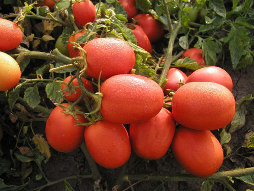 Tomato 'Sejk' (Lycopersicon Esculentum Mill.) Determinate Vegetable Plant Heirloom,40-60 Seeds