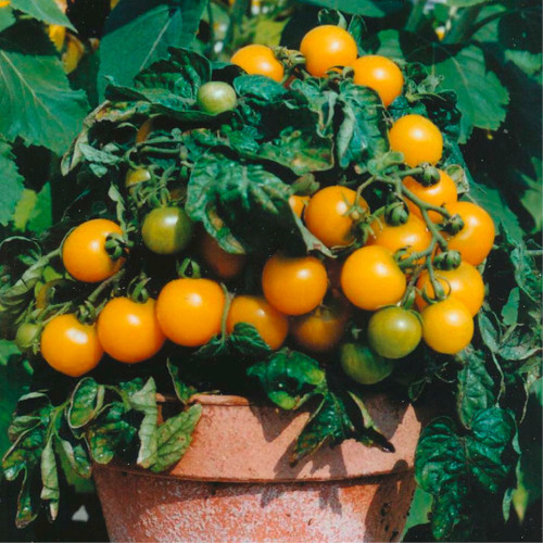 Tomato 'Venus' (Solanum Lycopersicum) Determinate Vegetable Plant Heirloom, 20-30 Seeds