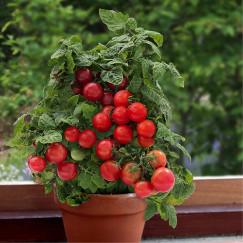 Tomato 'Vilma' (Lycopersicon Esculentum) Determinate Vegetable Plant Heirloom,20-30 Seeds