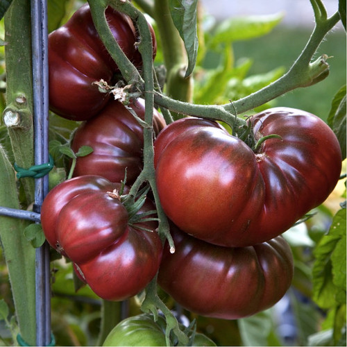 Tomato 'Black Krim' (Solanum Lycopersicum) Vegetable Plant Heirloom, 20 Seeds