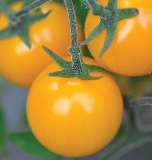 Tomato 'Gold Nugget' (Solanum Lycopersicum) Vegetable Plant Heirloom, 10 Seeds
