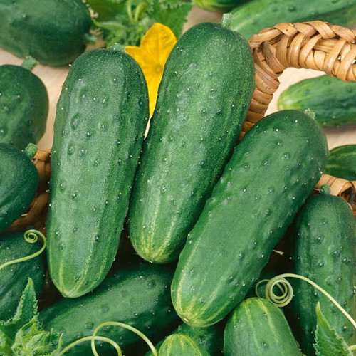 Cucumber  'Marketmore' (Cucumis Sativus) Organic Vegetable Plant Heirloom, 35-50 Seeds