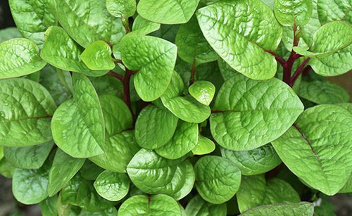 Indian Spinach 'Malabar' (Basella Rubra) Vegetable Plant Heirloom, 10 Seeds