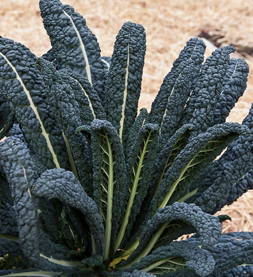Kale 'Nero Di Toscana' (Brassica Oleracea L.) Vegetable Plant Heirloom, 210-360 Seeds