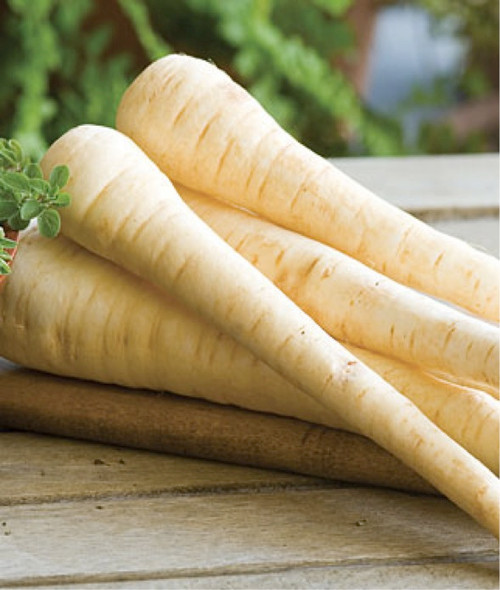 Parsnip 'Halflong White' (Pastinaca Sativa L.) Vegetable Plant Heirloom, 400-500 Seeds