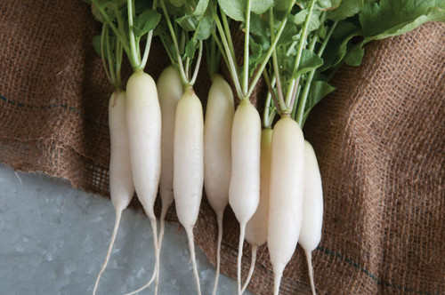 Radish 'Leda' (Raphanus Sativus L.) Vegetable Plant Heirloom, 200-300 Seeds